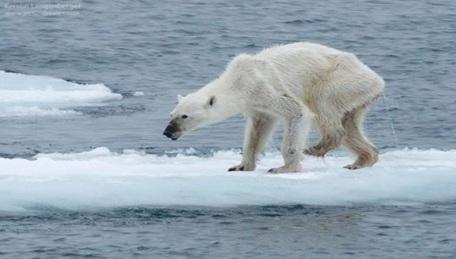 osa-polar-famélica