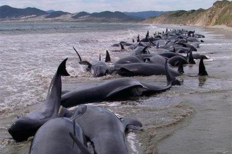 Ballenas suicidas en Nueva Zelanda