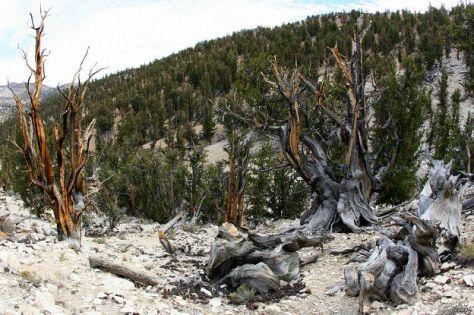 A simple vista Matusalén es indistinguible del resto de pinos milenarios del Bosque Nacional de Inyo, dicen los expertos.