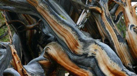 Es la adversidad del entorno la que hace los pinos milenarios tengan estas formas.