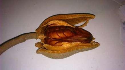 viaje-2-semilla-de-caoba