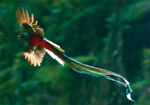 quetzal-volando2